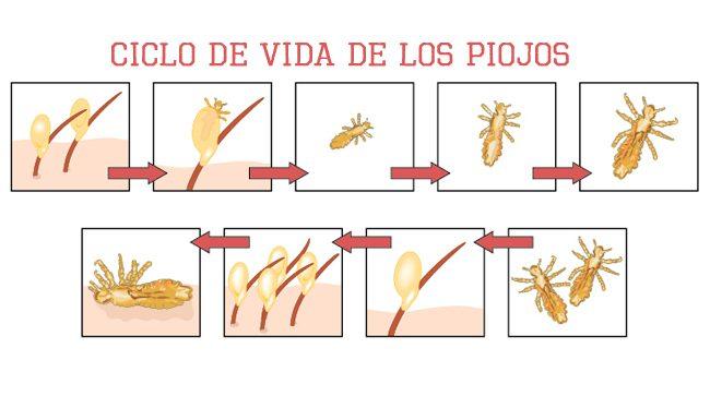 el ciclo de vida del piojo